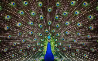 Бесплатные фото павлин,клюв,хвост,перья,цветные