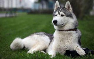 Бесплатные фото пес, хаски, морда, ошейник, лапы, фотоаппарат, хвост