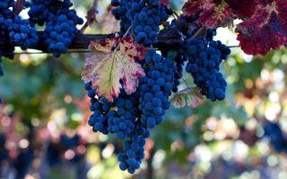 Бесплатные фото виноград,грозди,ягоды,листья