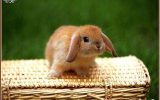 Заставки кролик, декоративный, морда, уши, шерсть, лапы, корзина