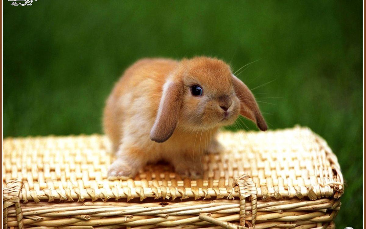 Фото бесплатно кролик, декоративный, морда, уши, шерсть, лапы, корзина, животные