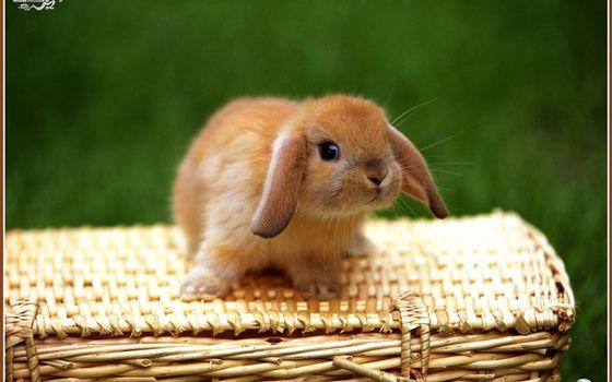 Бесплатные фото кролик,декоративный,морда,уши,шерсть,лапы,корзина