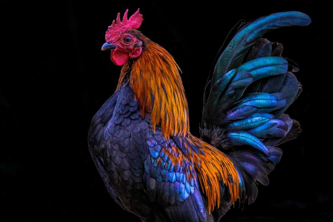 Фото бесплатно 2017 год Красного Огненного Петуха, Петух символ 2017 года, Петух, птица, птицы
