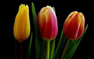 Бесплатные фото тюльпаны, лепестки, бутоны, стебли, листья, фон черный