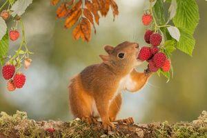 Фото бесплатно белка, рыжая, малина