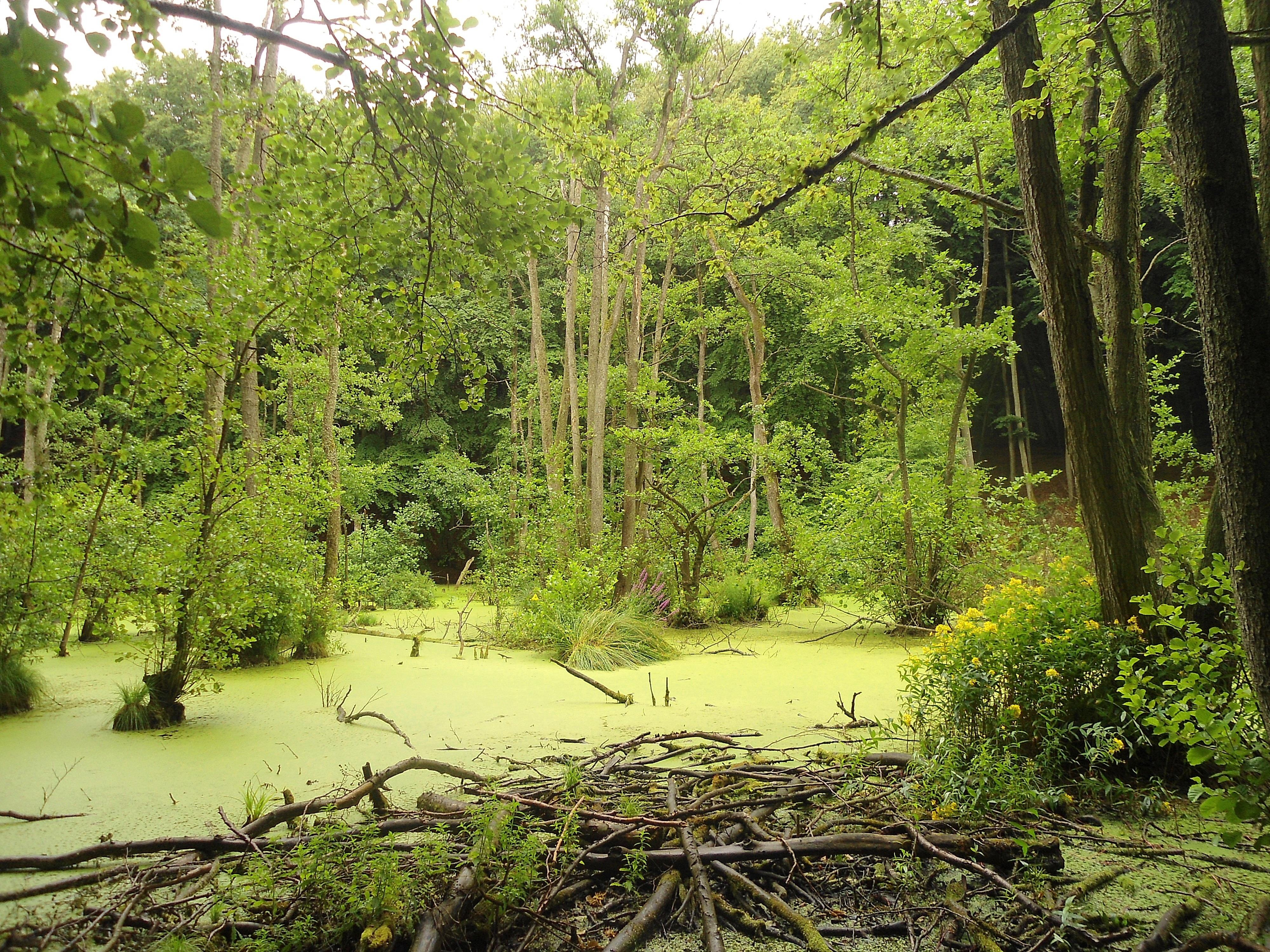 Обои лес, деревья, болото, природа