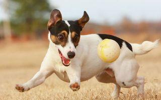 Бесплатные фото пес,собака,играет,морда,лапы,шерсть,мяч