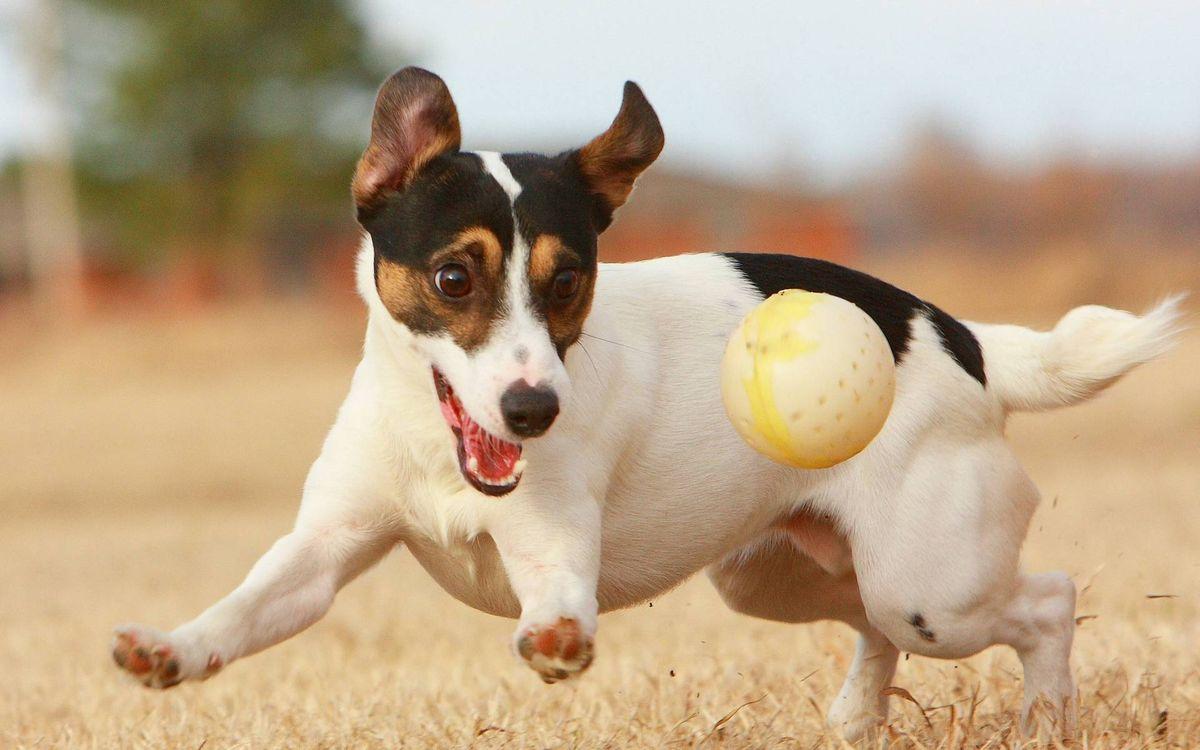 Фото бесплатно пес, собака, играет, морда, лапы, шерсть, мяч, ситуации