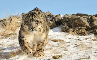 Бесплатные фото снежный барс,морда,лапы,шерсть,снег,трава,камни