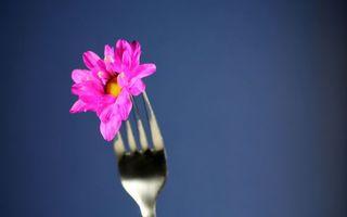 Фото бесплатно цветок на вилке, лепестки, розовые, вилка, крупным планом, синий фон