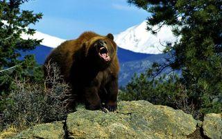 Фото бесплатно медведь, морда, оскал