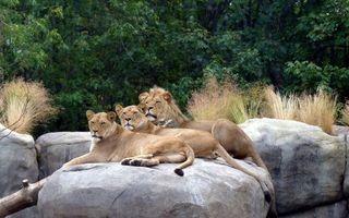 Фото бесплатно семья, прайд, лев