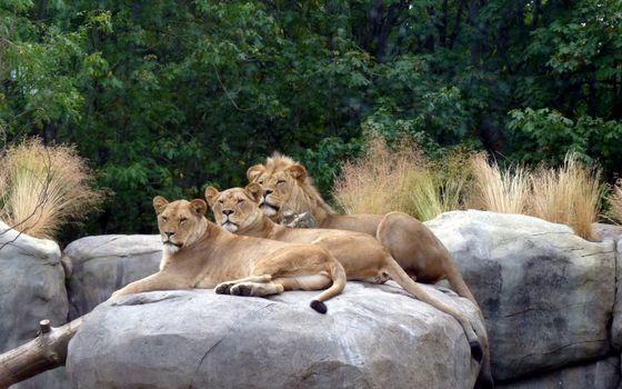 Photo free family, pride, lion