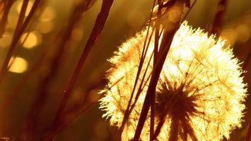 Фото бесплатно природа, поле, одуванчик