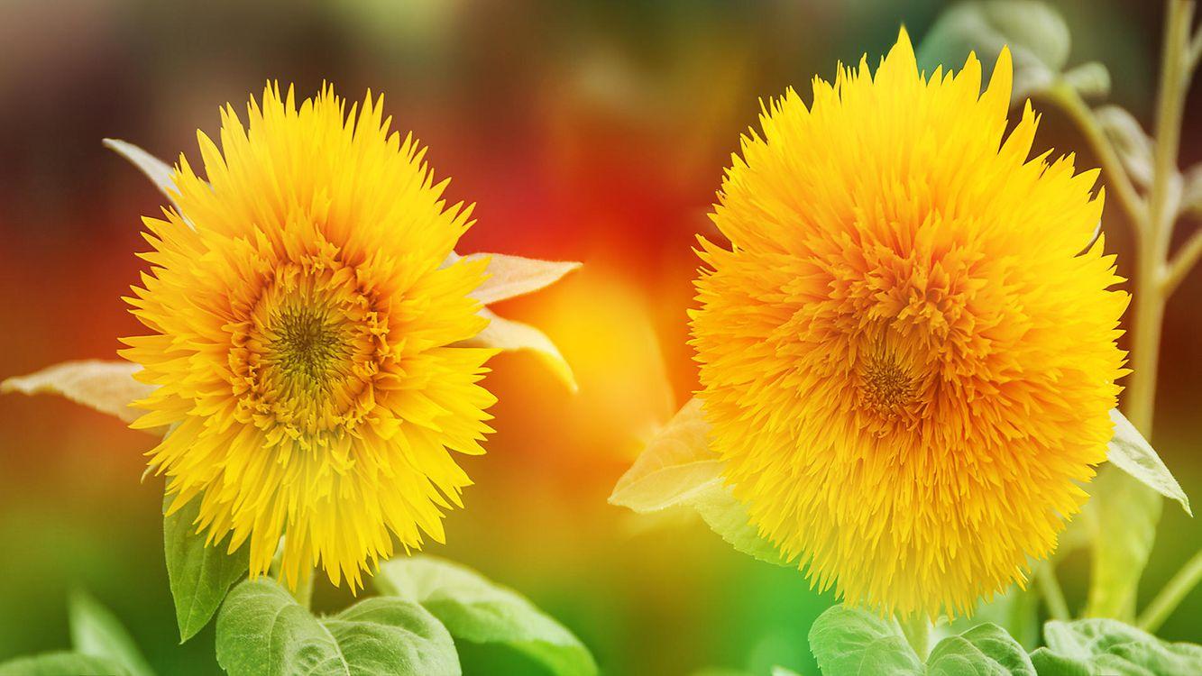 Фото цветы подсолнухи флора - бесплатные картинки на Fonwall