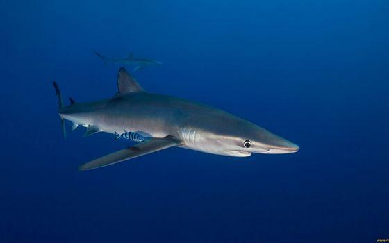 Фото бесплатно акулы, рыба, морда, плавники, жабры, хвост