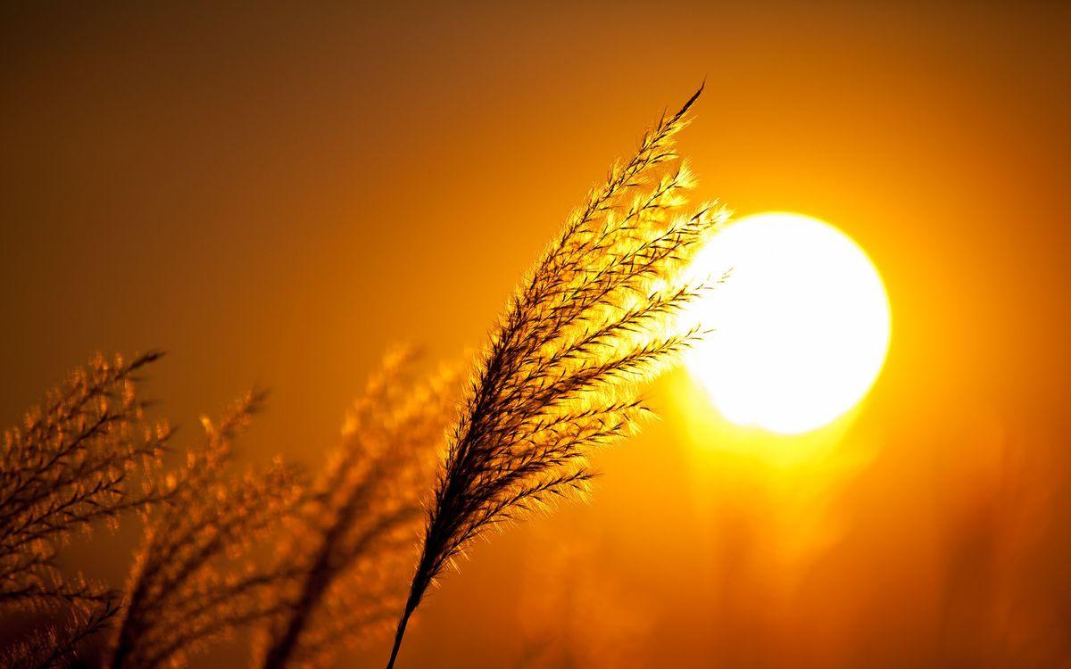 Фото бесплатно солнце, вечер, колосок, пшено, макро, природа