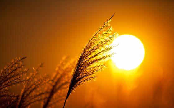 Фото бесплатно солнце, вечер, колосок