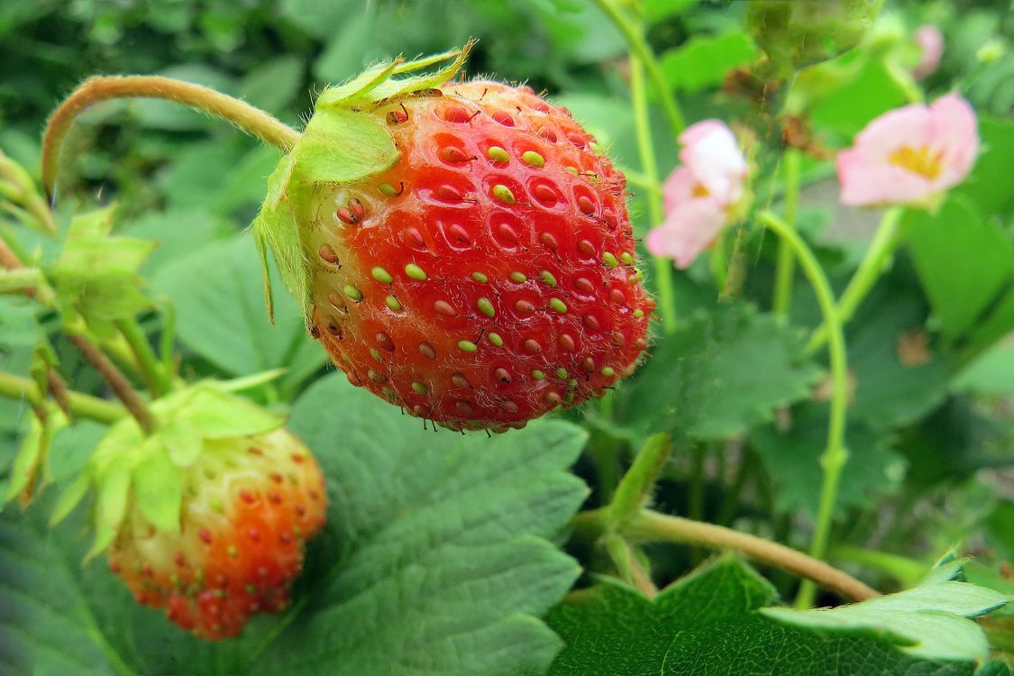 Фото бесплатно клубника, ягода, макро, природа, природа