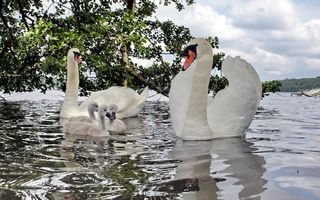 Фото бесплатно лебеди, птенцы, перья