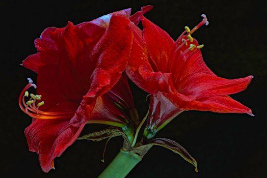 Фото бесплатно Amaryllis, цветок, флора