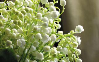 Бесплатные фото ландыши,колокольчики,лепестки,белые,стебли,зеленые