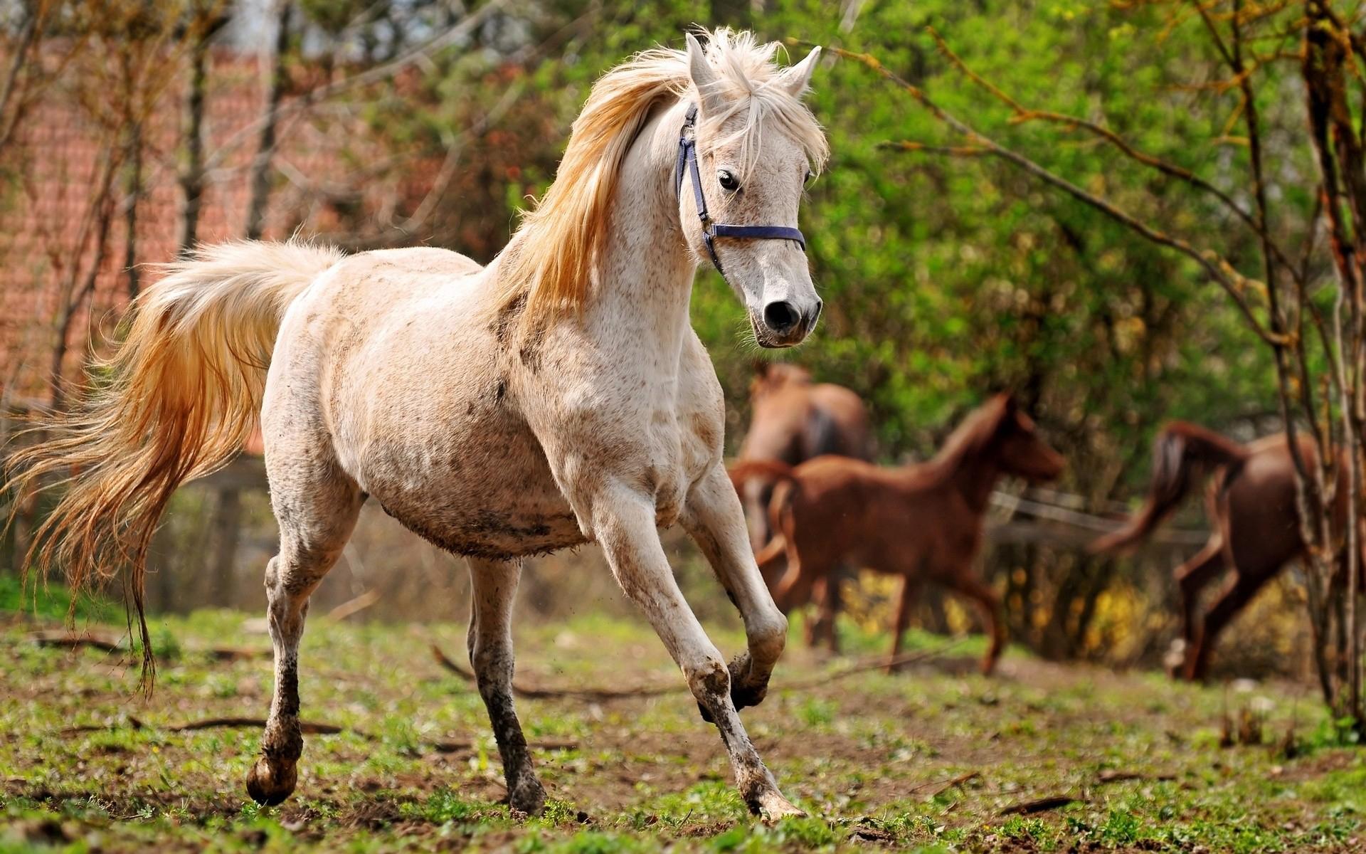 арабская лошадь обои на рабочий стол № 541996  скачать