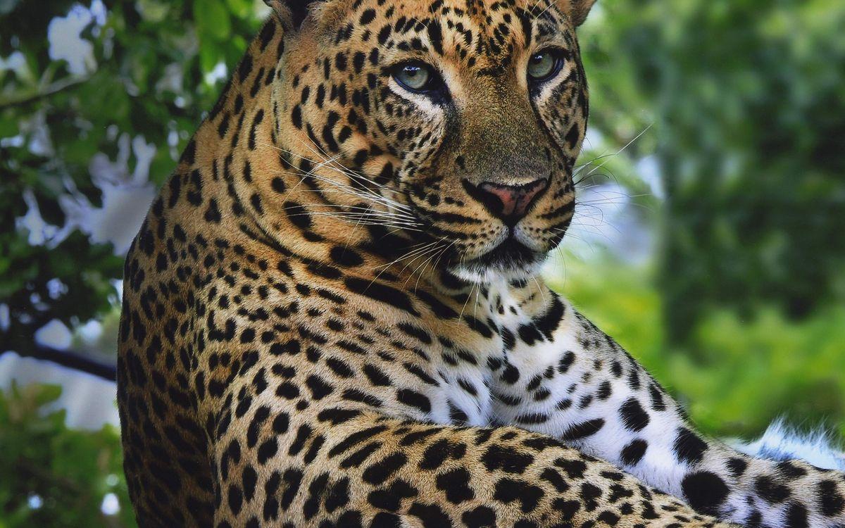 Фото бесплатно леопард, морда, глаза, лапы, шерсть, окрас пятна, кошки