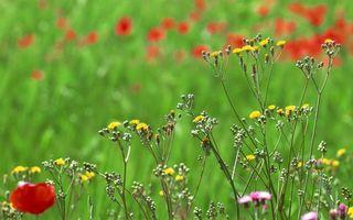 Бесплатные фото лето,поляна,трава,цветы,разные,маки