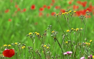 Фото бесплатно трава, поляна, маки