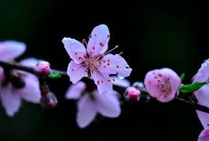 Заставки Cherry,blossoms,макро,ветка,цветы,листья