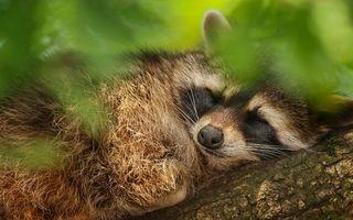 Бесплатные фото енот,спит,морда,шерсть,дерево,листва