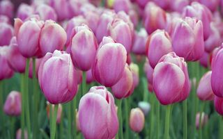 Бесплатные фото тюльпаны,клумба,лепестки,розовые,стебли,зеленые