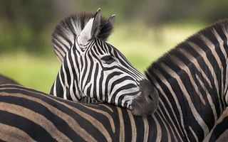 Photo free Zebra, color, stripes