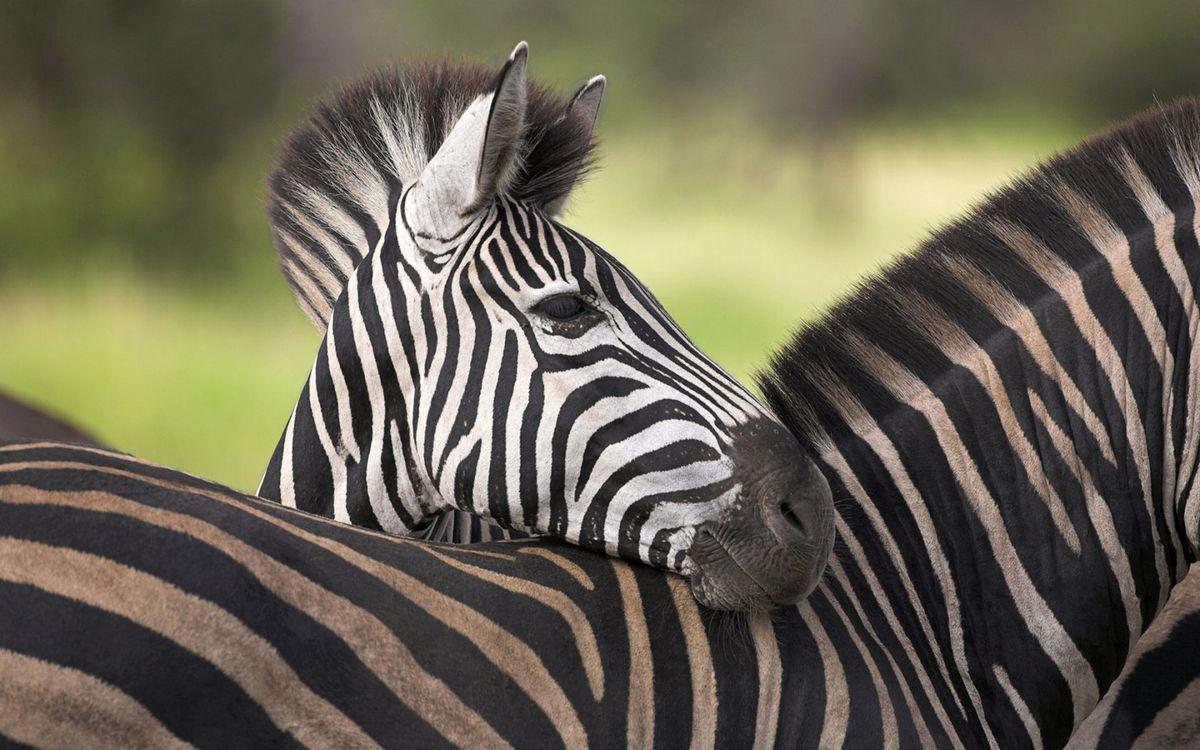 Фото бесплатно зебры, окрас, полосы - на рабочий стол