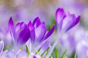 Фото бесплатно цветы, крокусы, макро