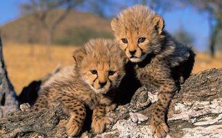 Бесплатные фото гепарды,котята,пара,морды,лапы,шерсть,дерево