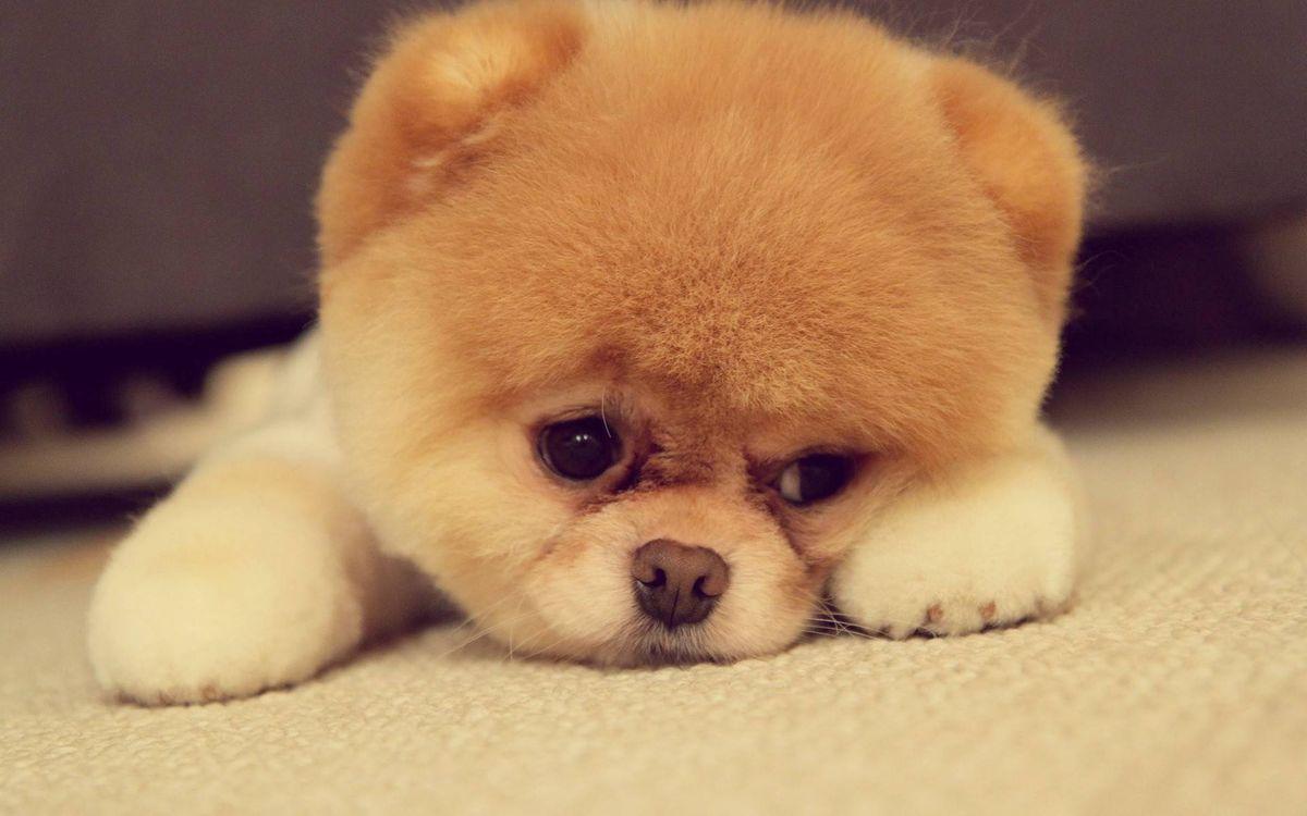 Фото бесплатно шпиц, щенок, морда, лапы, шерсть, стрижка, собаки