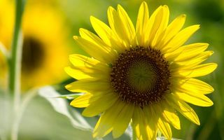 Бесплатные фото подсолнухи, лепестки, желтые, стебли, листья