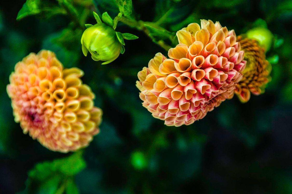 Обои цветы, георгины, флора картинки на телефон