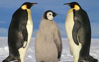 Фото бесплатно пингвины, птенец, пух