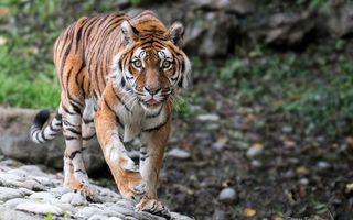 Бесплатные фото тигр,хищник,полосатый,морда,лапы,хвост