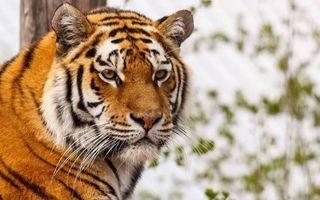 Фото бесплатно тигр, морда, усы