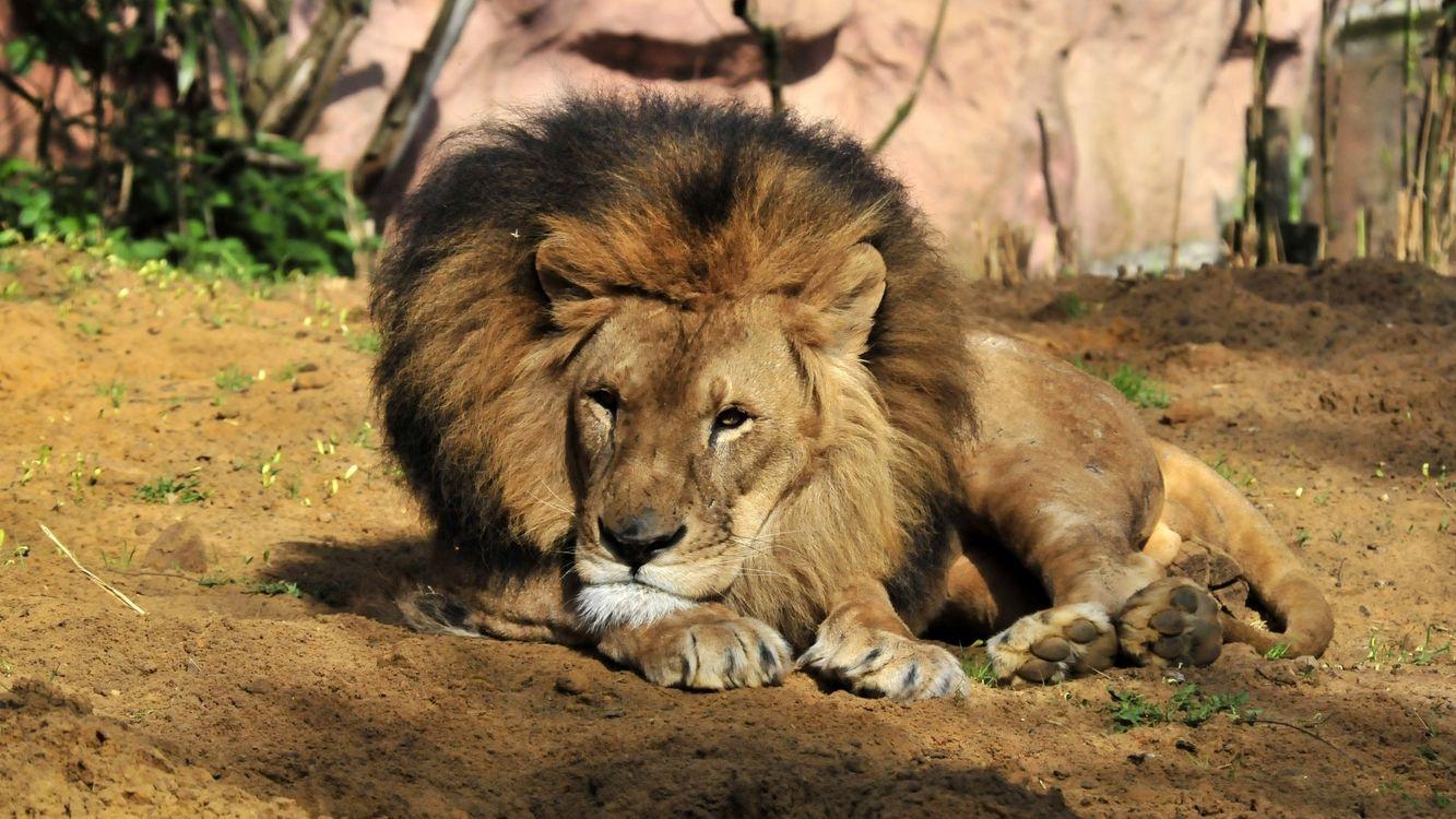 Фото бесплатно лев, морда, грива - на рабочий стол