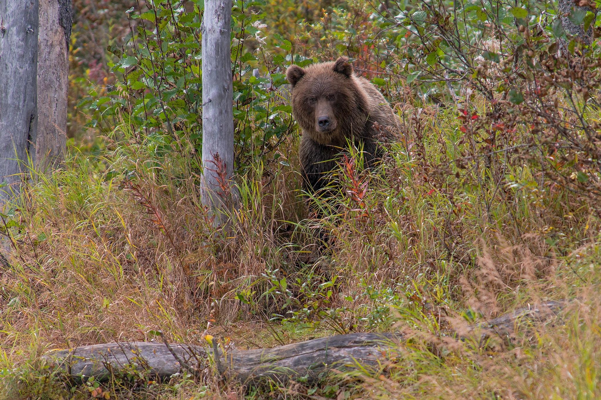 Аляска, Lake Clark National Park, бурый медведь