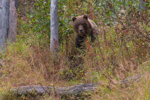 Photo free Alaska, Grizzly, Lake Clark National Park