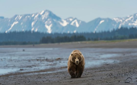 Фото бесплатно медведь, бурый, берег