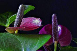 Бесплатные фото Purple Calla,растение,цветок,флора