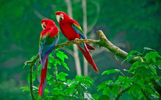 Фото бесплатно попугаи, ветка, джунгли