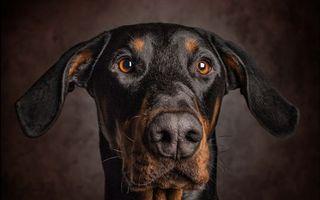 Фото бесплатно доберман, пес, морда
